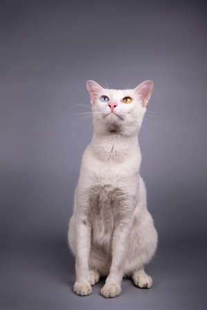 Portrait of the Siamese cat are sitting on grey background.