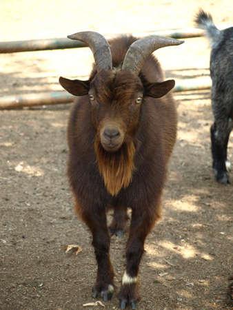 mischievous: mischievous billy goat Stock Photo