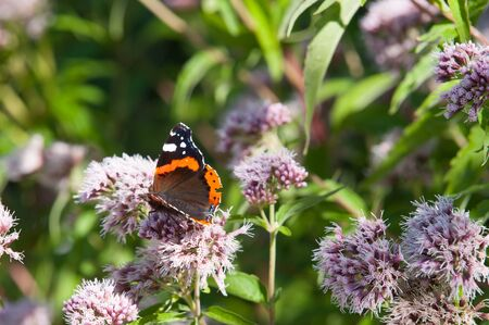 vanessa: vanessa atalanta butterfly on a pink flower Stock Photo
