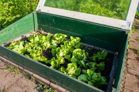 community garden: homegrown fresh salad lettuce in a small greenhouse
