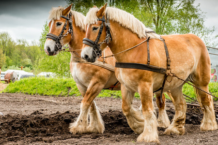 Couple of draft horses plowing the land