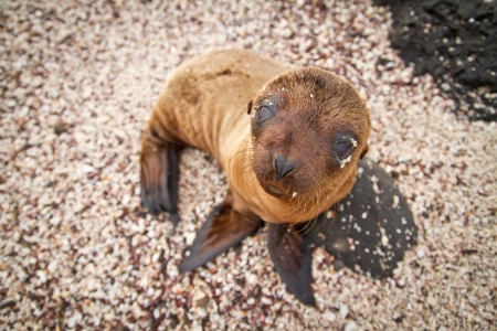 Baby sea lion in the Galapagos Islands staring at you photo