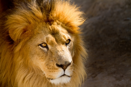 Close Up picture of a male lion staring photo