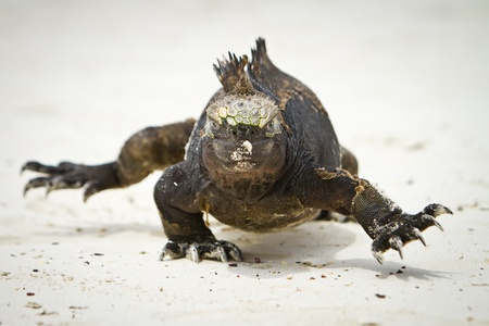 Marine Iguana walking straight at you  photo