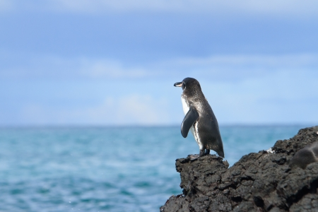 Galapagos Penguin looking at the ocean photo