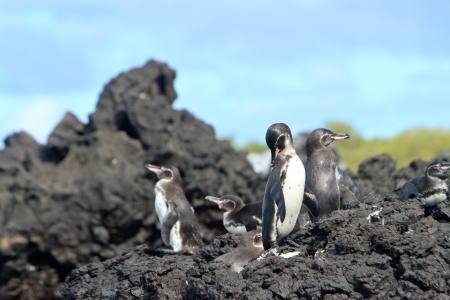 Penguin family  in the wild,  Galapagos Islands photo