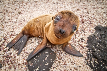 Baby Galapagos sea lion looking at the camera photo