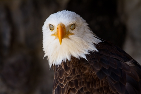 white tailed eagle: Portrait of a bald eagle with eyelids closed Stock Photo