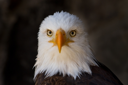 Portrait of a bald eagle close up photo