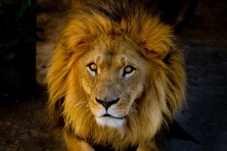 leones: Close-up retrato de una joven le�n Foto de archivo