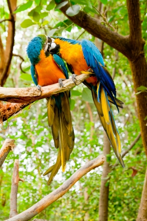 Colorful couple macaws kissing  photo