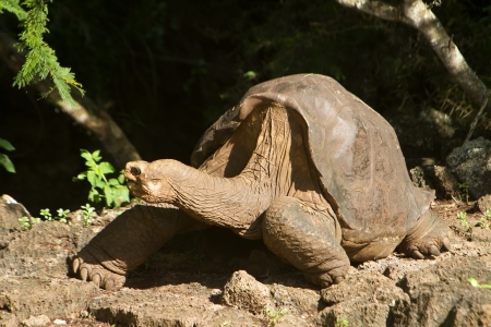 lonesome: Lonesome George, taken a few days before his death