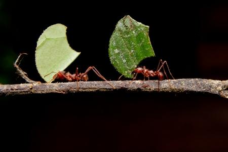 hormiga hoja: Las hormigas cortadoras de hojas, hoja, fondo negro que lleva