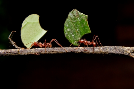 Leaf cutter ants, carrying leaf, black background