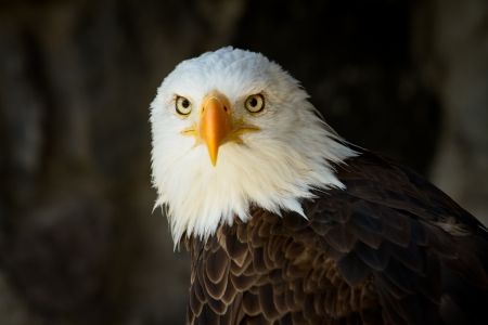 Portrait of a bald eagle close up staring at you