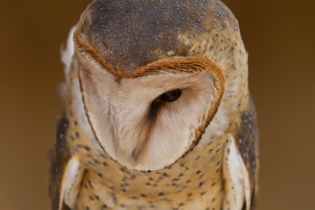 Barn Owl portrait photo