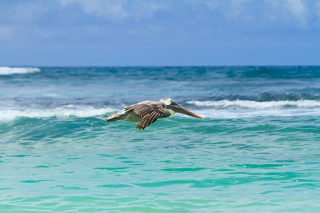 The brown Pelican fly over photo