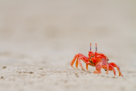 crab feeding on the beach a close up Stock Photo