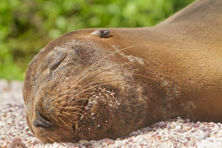 Sea lion resting at the beach in the Galapagos Islands photo