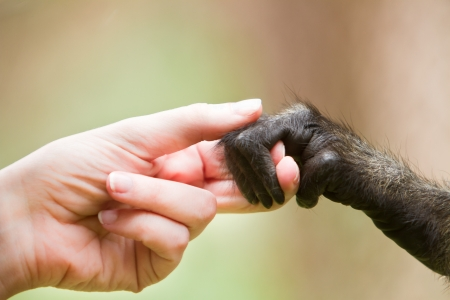 Human girl and monkey holding hands representing cooperation photo