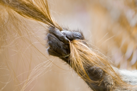 Closeup of a monkey hand pulling a blonde girls hair photo