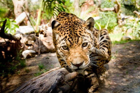 Large male jaguar jumping towards camera photo