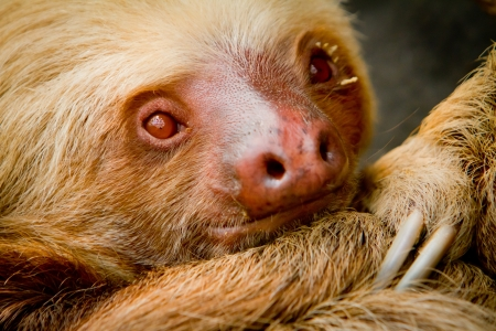 A young awake sloth in Ecuador South America
