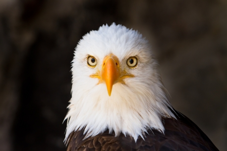 close up eyes: bald eagle  lat  haliaeetus leucocephalus