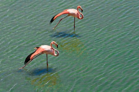 Loving couple of pink flamingos Stock Photo - 16121846