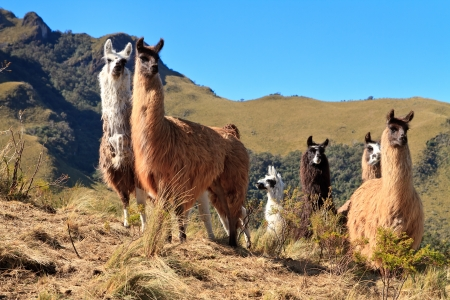 alpaca: Alpacas at the Pasochoa volcano, Ecuador