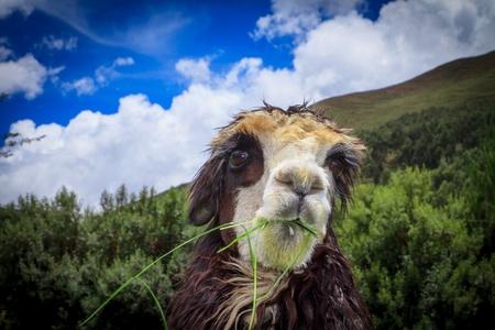 spitting: portrait of spitting llama