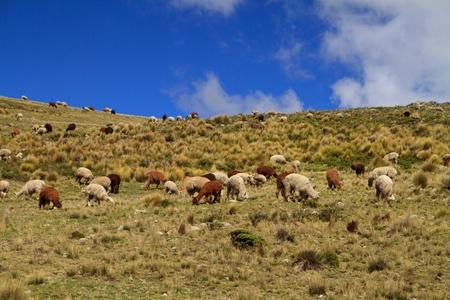 guanicoe: Guanacoes  Lama guanicoe