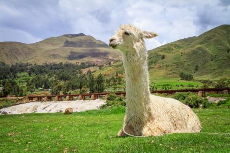 alpaca Zdjęcie Seryjne