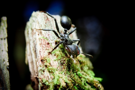 Bullet Ants in the Amazon  the most painful and dangerous stinging insect in the WORLD 版權商用圖片 - 21280209