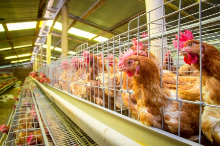 Poultry farm hens and eggs, aviary