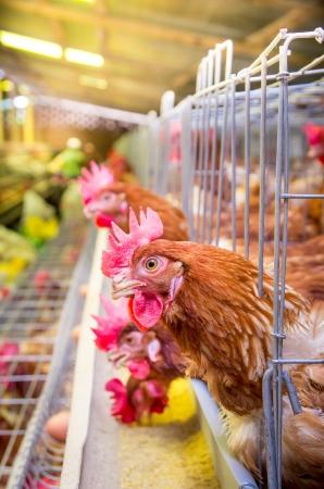 poules d'élevage de la volaille et des oeufs, volière