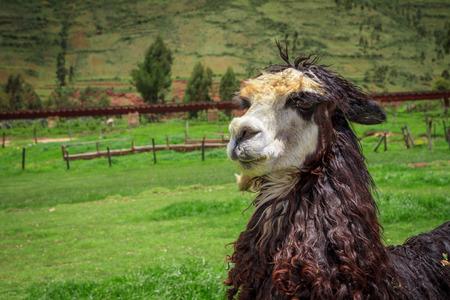 Close up of a white alpacas head photo