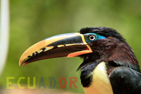 toucan with Ecuador banner with colors of the flag photo