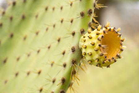 darwinism: Ecuador, Galapagos: old endemic giant cactus-tree
