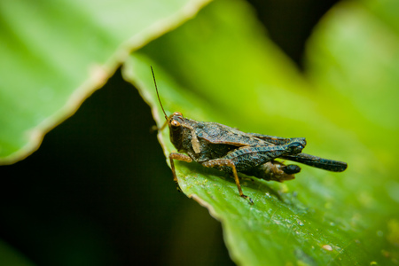 Unidentified grasshopper with blue legs on a leaf photo