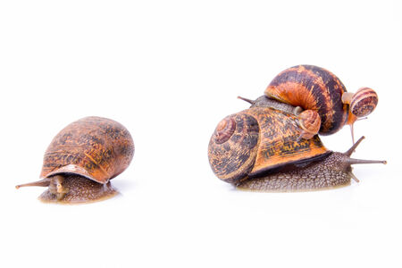 gastropod: Garden snails, may sugest family values