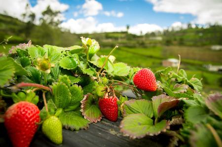plante: Fiels de fraises biologiques Banque d'images