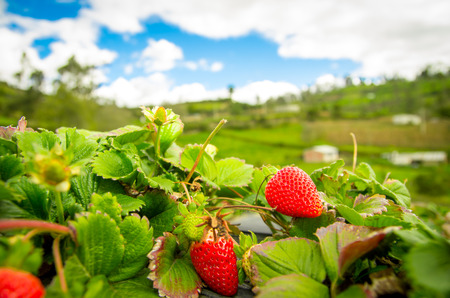 Organic strawberry fiels photo