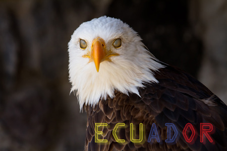 Portrait of a bald eagle with banner of Ecuador photo