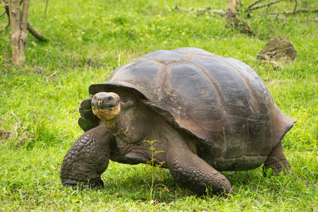 A giant Galapagos turtle, Galapagos islands, Ecuador, South America Standard-Bild