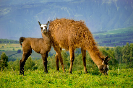 Llamas on Cochasqui piramids, baby mother, Ecuador