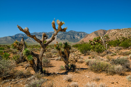 joshua tree in death valley national park landscape
