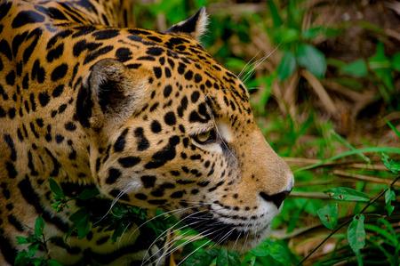 jaguar: cara jaguar primer hermoso en el bosque de belice Foto de archivo