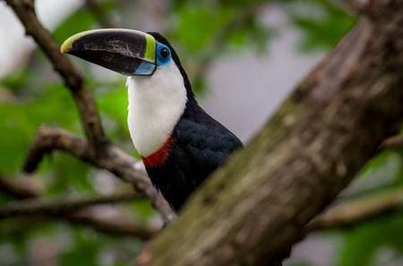 beautiful red blue green red white black toucan bird on a tree branch photo