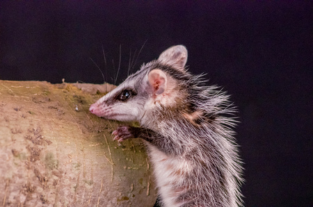 possum: andean white eared opossum climbing a branch zarigueya over black background Stock Photo